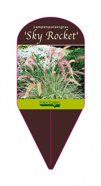 "Pennisetum advena ""Sky Rocket"""