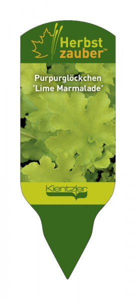 Heuchera Hybride 'Lime Marmelade'
