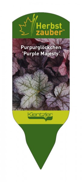 Heuchera Hybride 'Purple Majesty'
