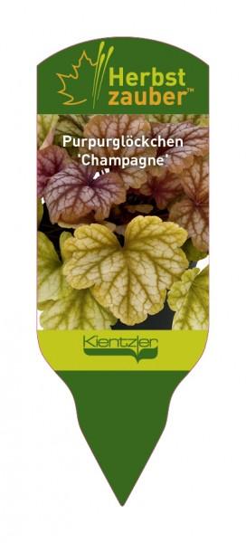 Heuchera Hybride 'Champagne'