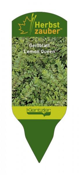 Lonicera nitida 'Lemon Queen'
