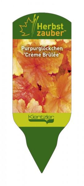 Heuchera Hybride 'Creme Brulee'