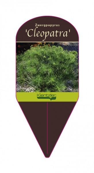Cyperus prolifer 'Cleopatra'
