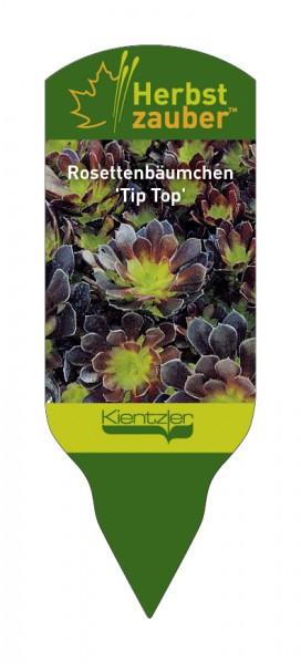 """Aeonium arborescens """"Tip Top"""""""