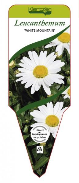 Leucanthemum x superbum 'White Mountain'