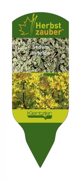 Sedum Sammeletikett (floriferum, spurium Tricolor)
