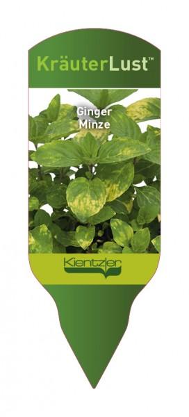 Mentha gracilis Ginger Mint - Ginger Minze