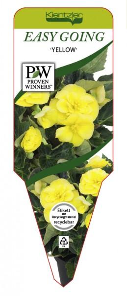 Begonia EASY GOING 'Yellow'