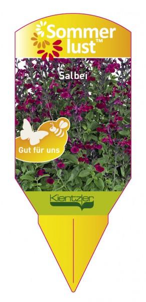 Salvia x jamensis Ignition 'Fuchsia'