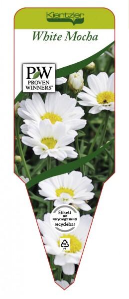 Argyranthemum Hybr. 'White Mocha'