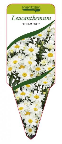 Leucanthemum x superbum 'Cream Puff'