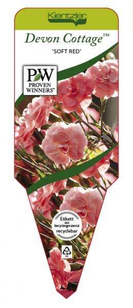 Dianthus Devon Cottage™ 'Soft Red'