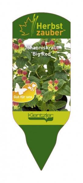 Hypericum MAGIC MARBLES 'Big Red'