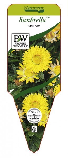 Bracteantha Hybrid Sunbrella 'Yellow'