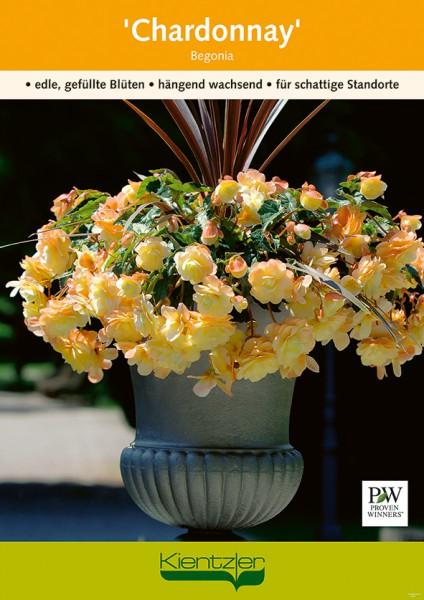 Chardonnay Begonia Poster